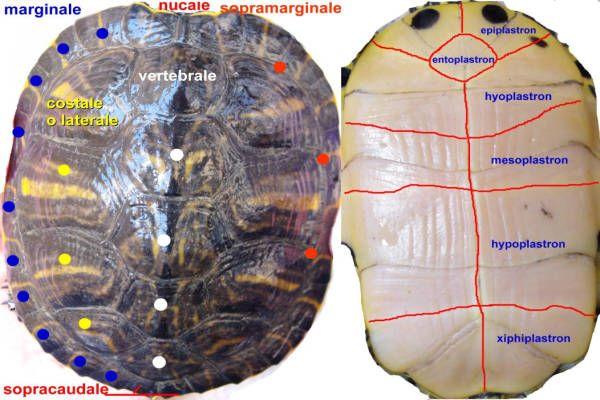Il carapace di tartaruga acquatica e piastrone, come sono fatti? Morfologia della corazza di tartaruga acquatica e il significato di carapace.