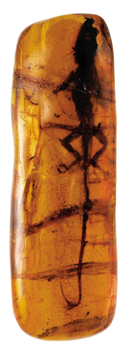 This extremely rare and scientifically important specimen is the largest lizard ever found in amber. In fact, it is the largest complete animal ever discovered in amber and among the finest fossil vertebrates known to exist.
