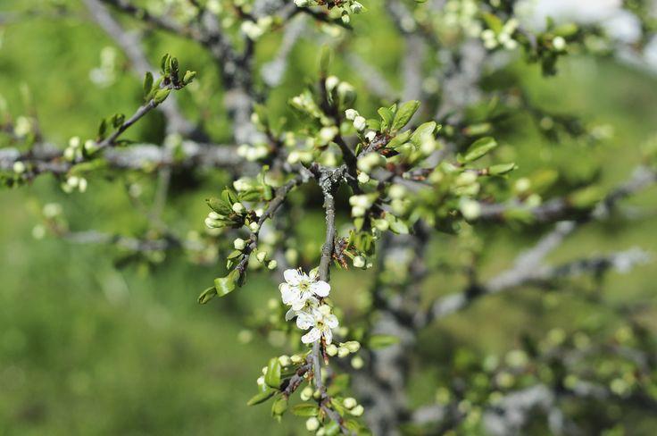 Luumupuu nupuillaan/ plomtree blooming