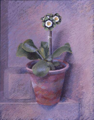 Grey-edged Auricula 'Prague' (1997) by John Morley