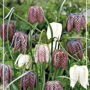 Fritillaria meleagris - Vibeæg
