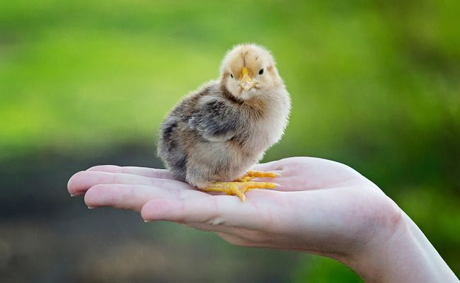 Not Grinding Male Chicks Alive Isn't a Victory for Animal Rights (article)   Go VEGAN