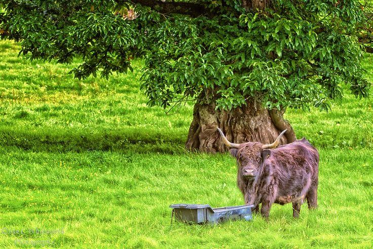 A Scottish Highland cow.