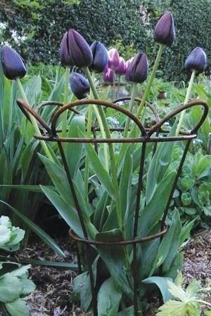 An unused lamp shade frame makes a beautiful support for tulips and other flowers needing a little support.