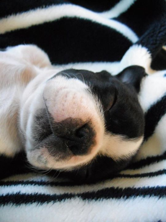 Baby Face ❤❤❤ from: http://bostonterrierworld.com/baby-face/