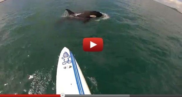 Checkout the video! This is a pretty cool close encounter of the SUP kind. SUP'er encounters Baby Orca off the coast of Auckland, North Shore > Watch on Video