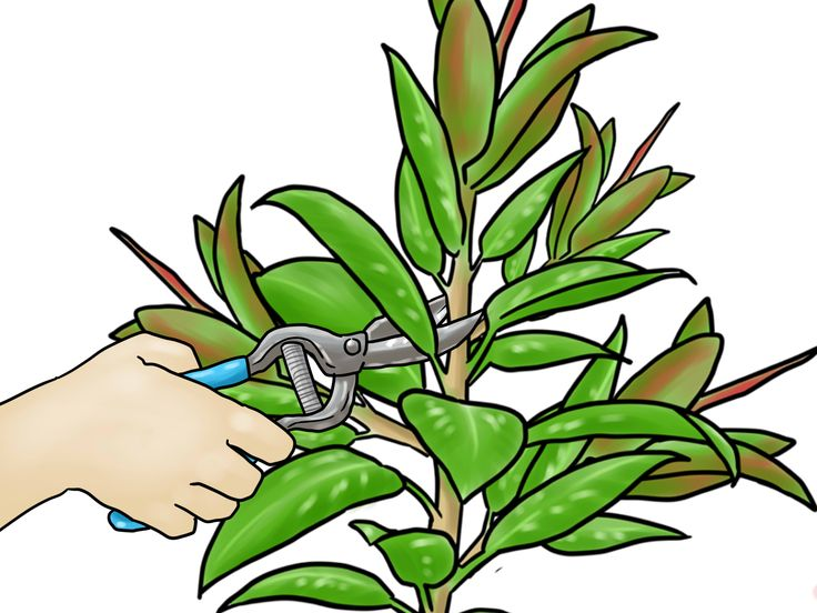How to Grow a Rubber Tree -- via wikiHow.com