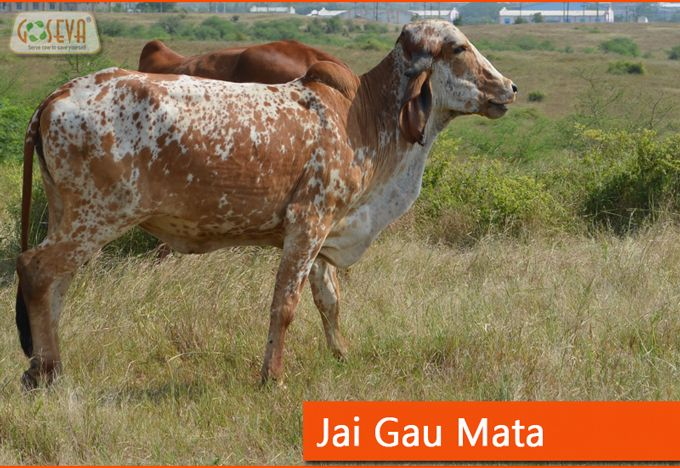 mother cow - Gir Jasdan Serve Cows to save Yourself !