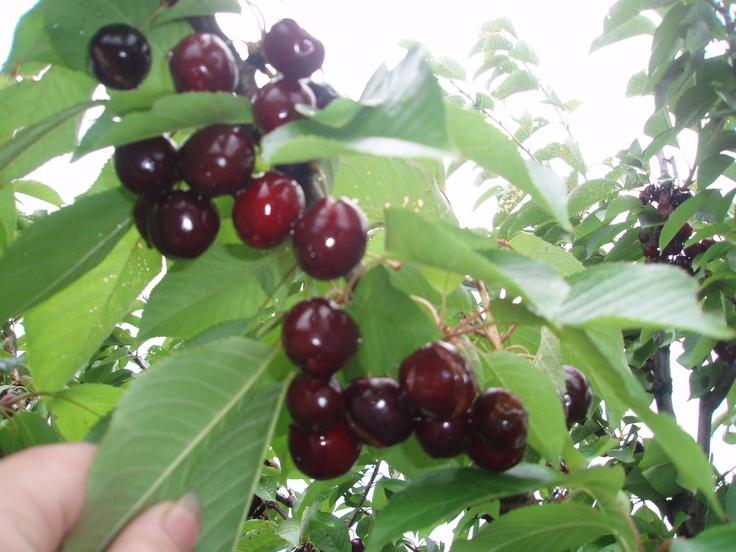 Cherry Picking in Orange (NSW)