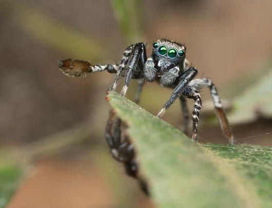 Австралийские пауки играют с самками в прятки
