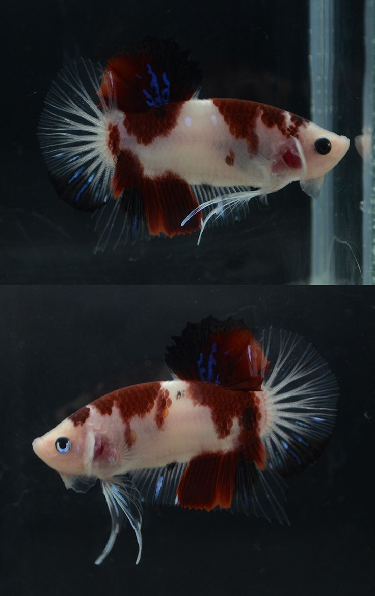 3101 best images about fish keeping on pinterest for Fancy koi fish