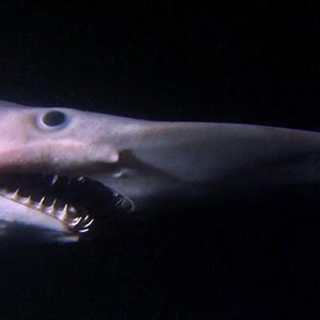 Alien Sharks: Goblin Shark