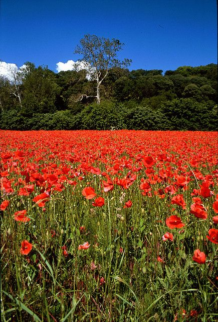Poppies in Regional Park of the Euganean Hills ~ Italy