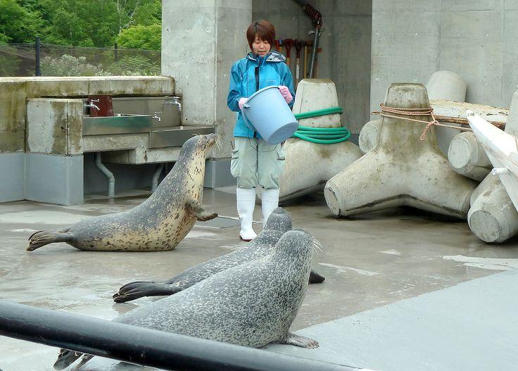 Travel Photo in Hokkaido, Japan. Seals at Asahiyama zoo.