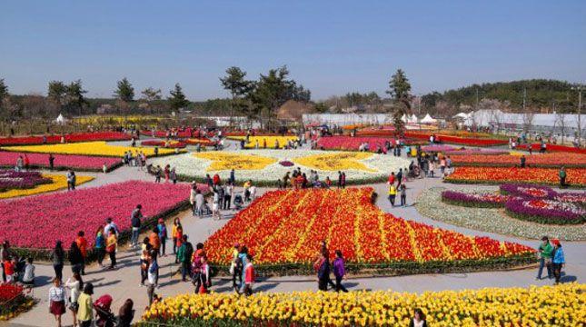 Selain Terkenal Di Belanda Bunga Tulip Juga Terkenal Indah Di Korea Selatan Warna Warni Dari Bunga Tulip Itulah Yang Menjadi Daya Tar Bunga Tulip Bunga Tulip