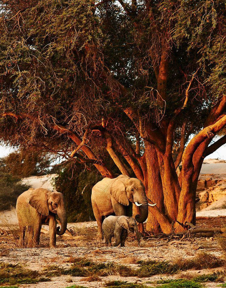 Desert elephants in Namibia's Skeleton Coast