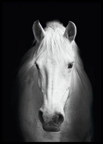 White Horse, poster. Snygg tavla med häst. Affisch med svartvitt foto av en häst. I våra kategori Insekter och djur samt Svartvitt har vi fler foton av vackra djur. Den här fotoaffischen är perfekt att kombinera ihop med andra motiv i en snygg tavelvägg.