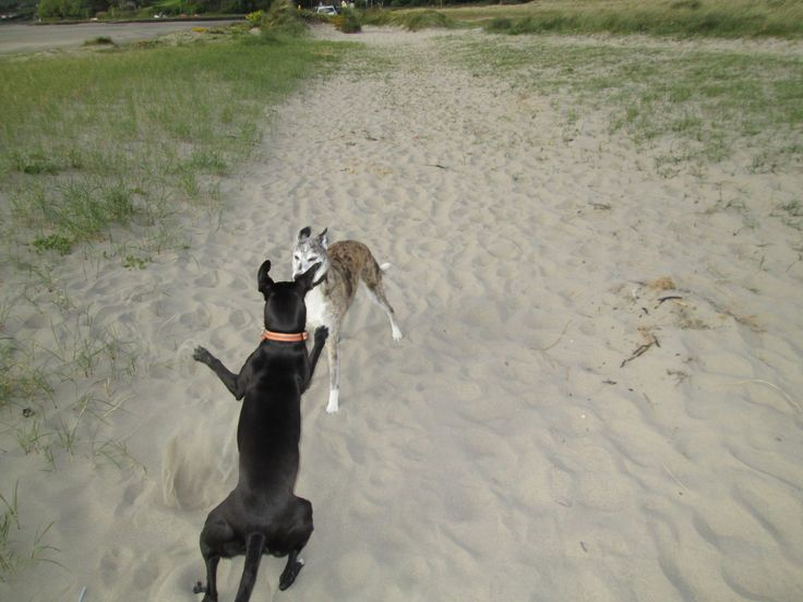 Dogs on the beach - they love it! Winnie trying out her cougar moves and Toni trying to pretend she hasn't noticed.