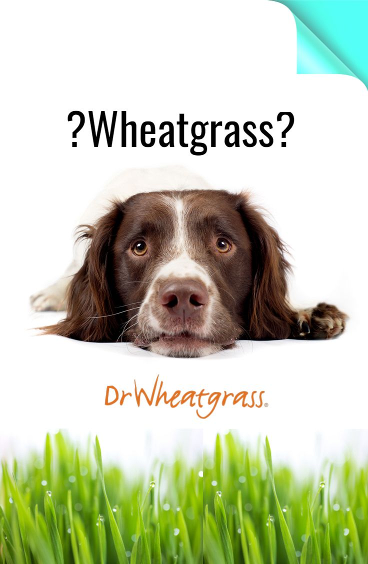 Wheatgrass healing is not only for humans! #wheatgrass #Animal