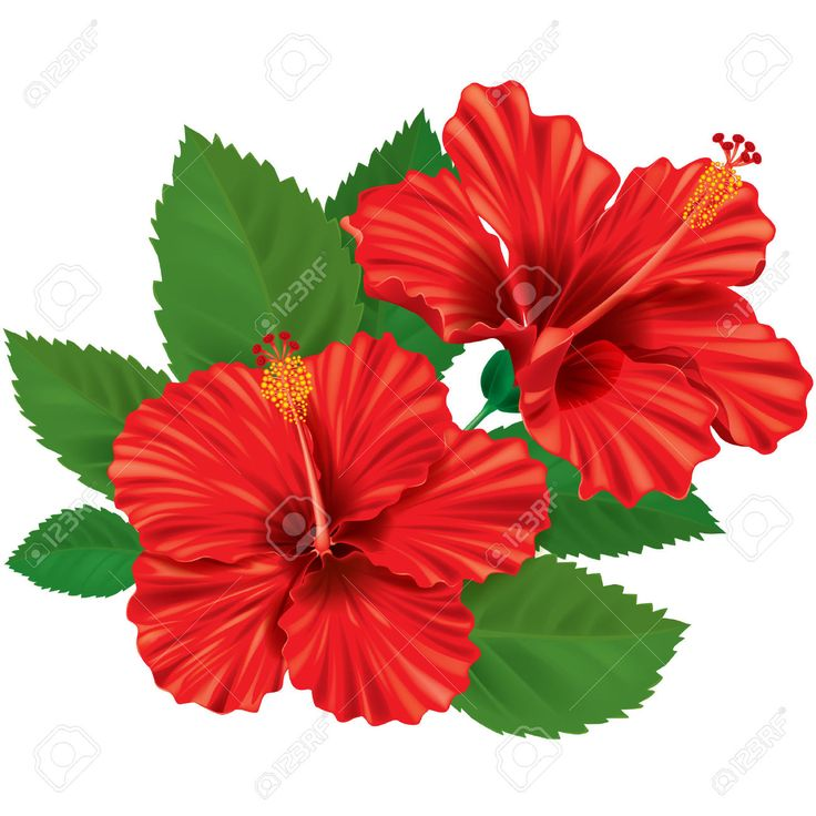 Images For Gt Red Hibiscus Flower Painting Flower