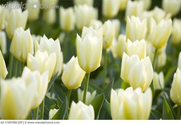 Purissima Tulips