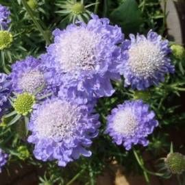 Driakiew japońska 'Blue Note' Scabiosa japonica