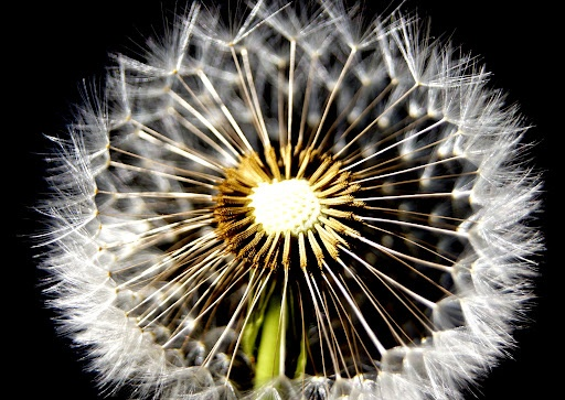 Dandelion Fluff by Carleen Corrie - Dandelion fluff Click on the image to enlarge.