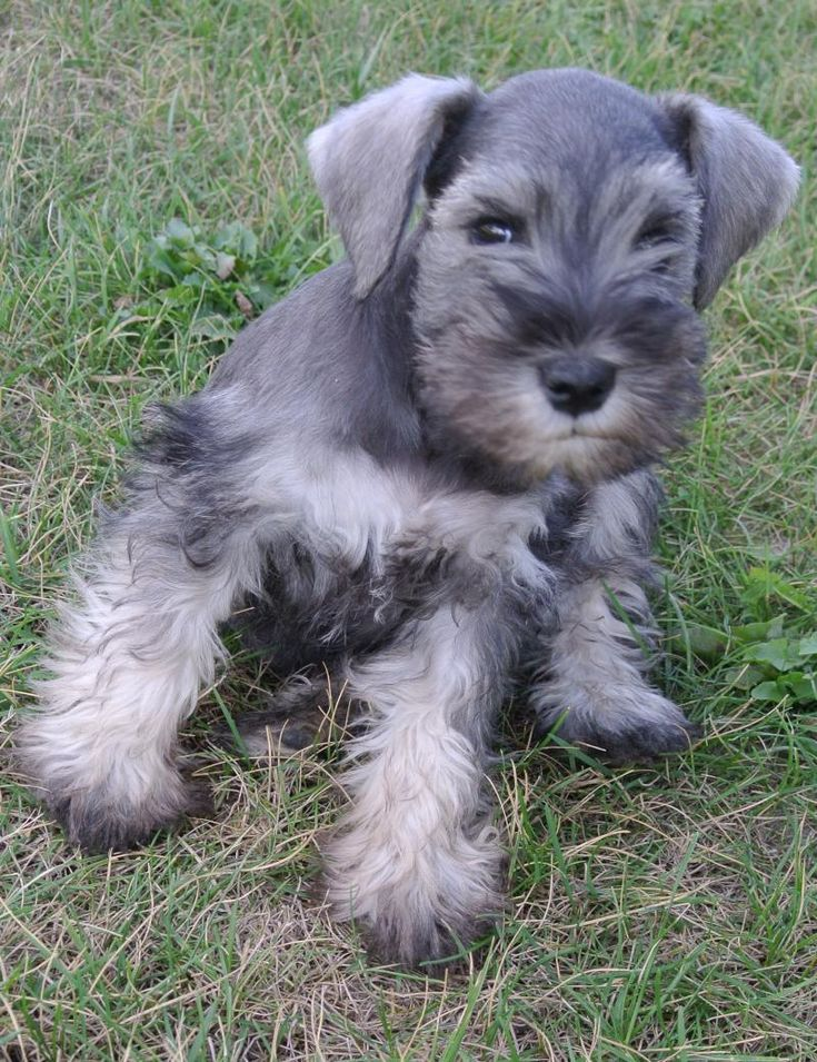 Mini schnauzer puppies dallas