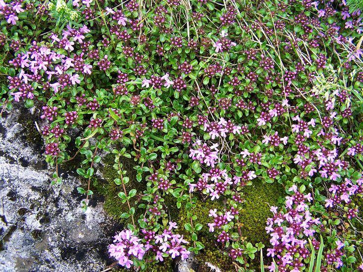 Timo selvatico (Thymus serpyllum)