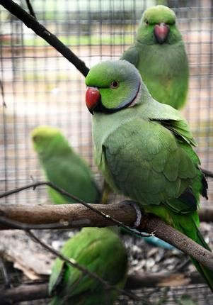 India Forest Department and volunteers rescue 28 parrots in Coimbatore and Erode, India: