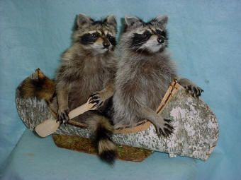 2 mounted raccoon taxidermy for sale