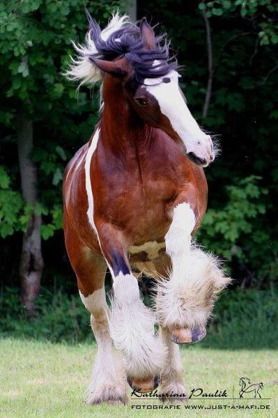 Powerful Clydesdale - Draft horse