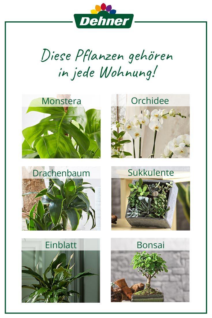 Zimmerpflanzen Fur Jede Wohnung Dehner Meindehner Pflanzen Zimmerpflanzen Garten Pflanzen