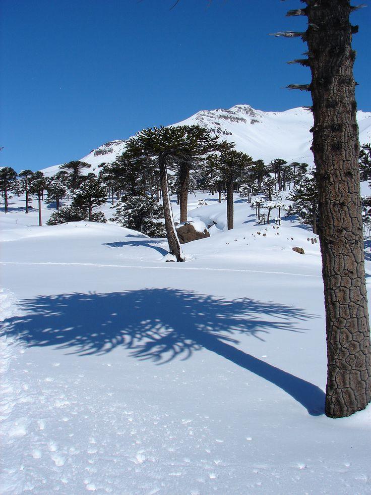 https://flic.kr/p/6e1zC6 | Caviahue en invierno, winter in Caviahue | Sombra de una araucaria araucana o pehuén sobre la nieve de Caviahue. Hermosa época para conocer este lugar congelado en el tiempo.  Shadow on the snow of Araucaria araucana or Pehuén, a typical tree from Neuquén in a place called Caviahue. Winter is a beautiful time to visit this place frozen in time.