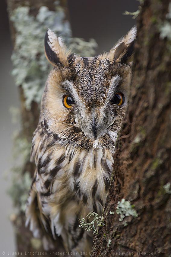 Long-eared Owl by linneaphoto.deviantart.com on @DeviantArt