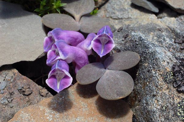 Papaveraceae - Corydalis benecincta (nang ju zi jin)