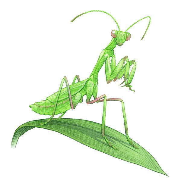 26 best praying mantis unit study images on pinterest for Grasshopper tattoo supply