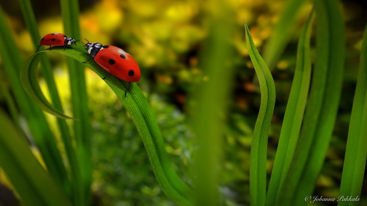 Lady bugs made with Blender 3D