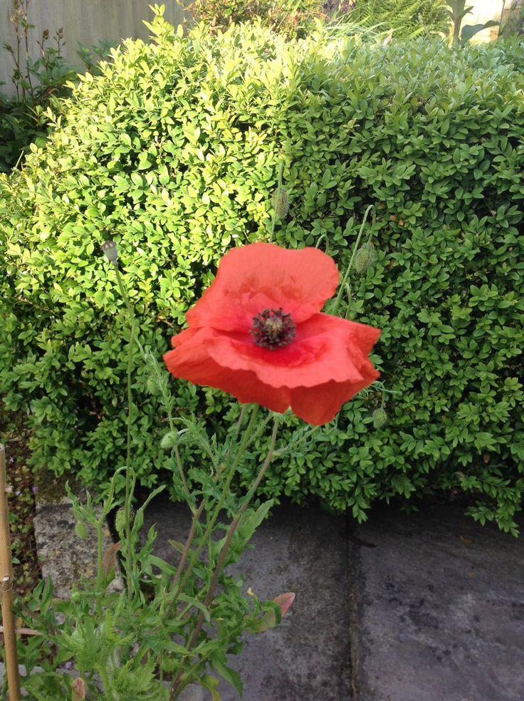 Love seedball poppy