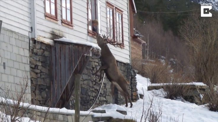 Wild Deer Climbs To Elderly Woman's Window Twice a Day For a Snack