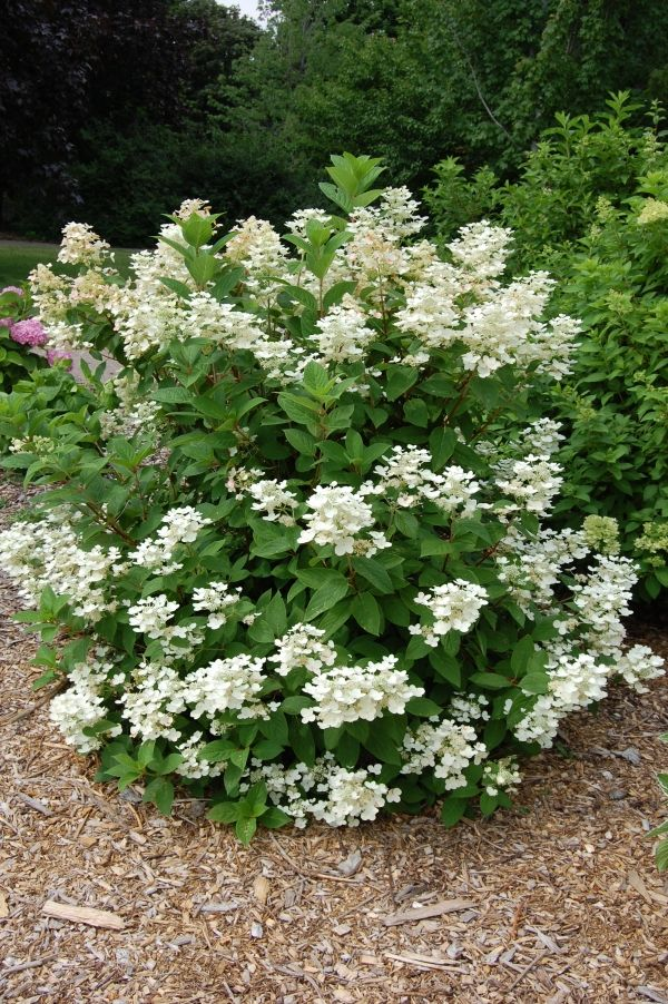 quick fire hydrangea - goes from white to pink to deep rose. Blooms on new wood, prune late winter or early spring to shape or to reduce the size of the bush which can grow 6 - 8 feet wide and tall.