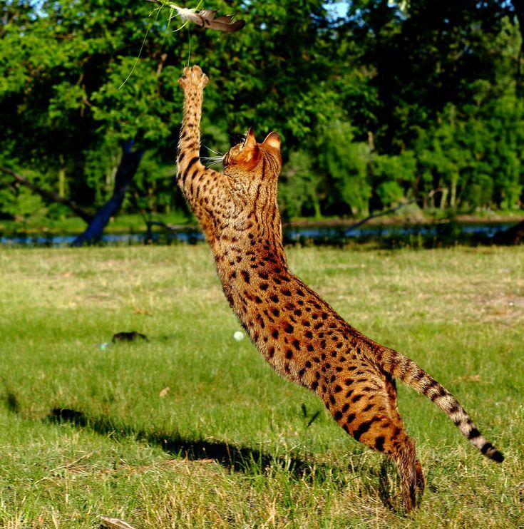 Savannah Cat Color Patterns - Select Exotics