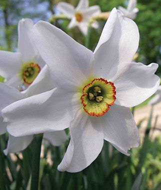My favorite spring time flower. Pheasant eye narcissus bulbs.