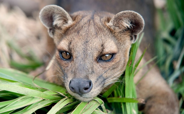 Madagascar  ...this is the fossa, which was initially thought to be a kind of cat but has now been categorised as a relative of the mongoose. It is the largest carnivore native to Madagascar.  Picture: Alamy