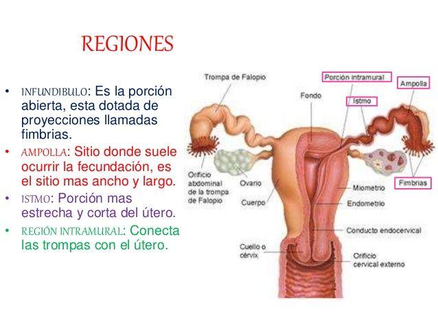 donde se produce la fecundacion en el aparato reproductor femenino