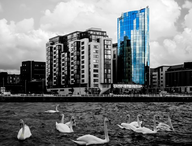 """Swans in Shannon river, Limerick city, Ireland. Accented building is the """"Riverpoint"""" - tallest storey building in Limerick and fourth tallest storey building in Ireland. #architecture #black and white #bright #building #buildings #center #cities #city #cityscape #clouds #day #europe #highrise #houses #ireland #landscape #limerick #modern #place #reflection #river #scenic #selected color #shannon river #swan #swans #town #urban #water #waterfront"""