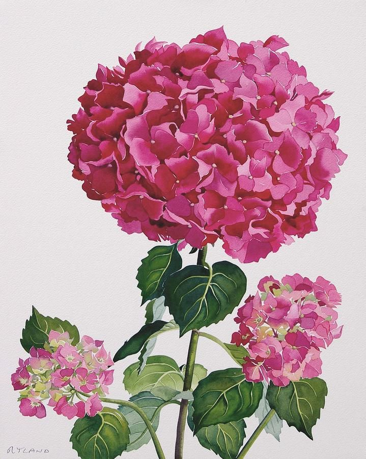 Flowers Painting - Hydrangea by Christopher Ryland
