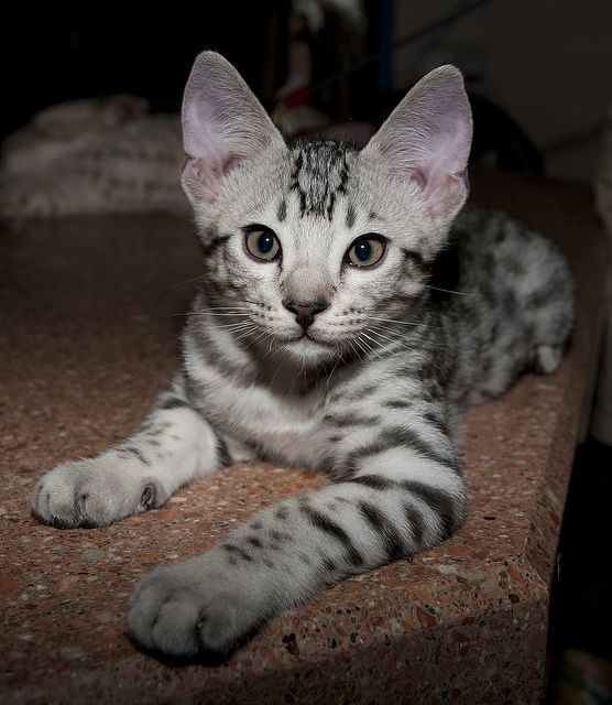Ocelot + cat = ocicat. So maybe I hate cats, but OCELOTS PEOPLE.