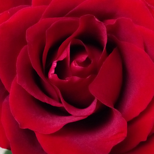 My birthday rose