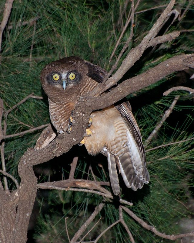 Rufous Owl (Ninox rufa). Photo by Richard Jackson.